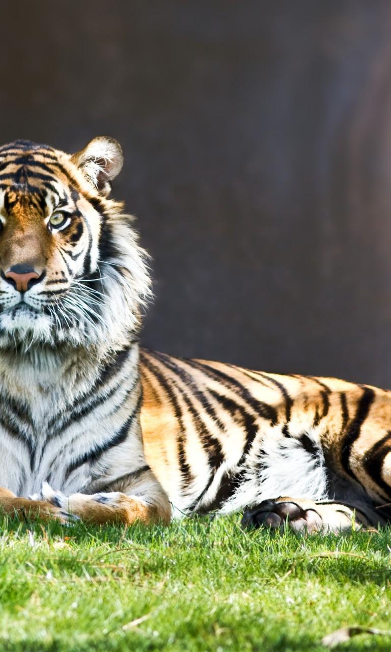 tiger-01-obrazky-na-plochu